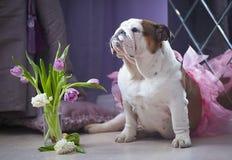 Englischer Bulldoggenhund in einem rosa Rock mit Blumen lizenzfreie stockfotografie