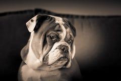 Englischer Bulldoggenwelpe Lizenzfreies Stockbild