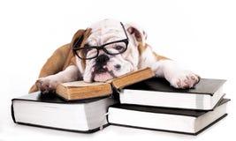 Englischer Bulldoggenwelpe in den Gläsern lizenzfreie stockbilder