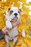 Englischer Bulldoggenwelpe in der Hand Lizenzfreie Stockfotografie