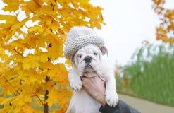 Englischer Bulldoggenwelpe in der Kappe Lizenzfreie Stockbilder