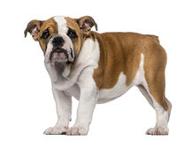 Englischer Bulldoggenwelpe (3 Monate alte) Lizenzfreie Stockfotos