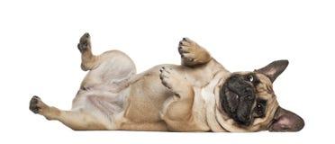 Englischer Bulldoggewelpe, 2 und Monate alte einer Hälfte Lizenzfreies Stockfoto
