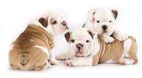 Englischer Bulldoggewelpe lizenzfreies stockbild
