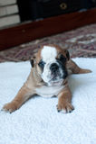Englischer Bulldoggewelpe Lizenzfreies Stockfoto