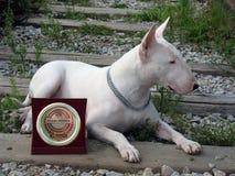 Englischer Bullterrier geht draußen Lizenzfreies Stockfoto