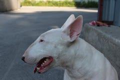 Englischer Bullterrier geht draußen Stockbilder
