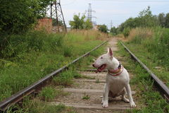 Englischer Bullterrier geht draußen Lizenzfreies Stockbild