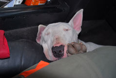 Englischer Bullterrier schläft schnell Lizenzfreie Stockbilder
