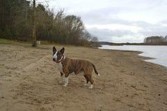 Englischer Bullterrierhund auf dem Strand Stockfotos
