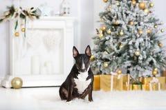 Englischer Bullterrierhund, der für Weihnachten aufwirft Lizenzfreie Stockbilder