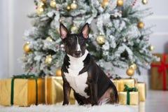 Englischer Bullterrierhund, der für Weihnachten aufwirft Lizenzfreie Stockfotos