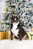 Englischer Bullterrierhund, der für Weihnachten aufwirft Stockfoto