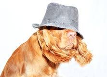 Englischer Cockerspaniel Lizenzfreies Stockfoto