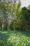 Englischer Efeu-Boden-Aufstiegs-große Bäume Stockfotografie