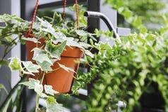Englischer Efeu oder Hederahelix im Blumentopf im kleinen Garten Lizenzfreie Stockbilder