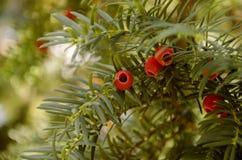 Englischer Eiben-Taxus Baccata Stockfoto