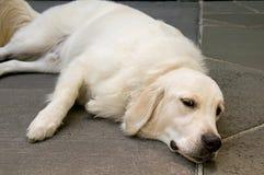 Englischer golden retriever-Hund, der sich hinlegt Lizenzfreie Stockfotografie