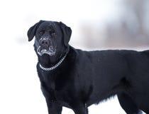 Englischer Labrador-Apportierhund Stockfoto