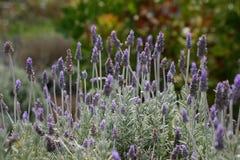 Englischer Lavendel Stockfoto