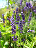 Englischer Lavendel Lizenzfreie Stockfotografie