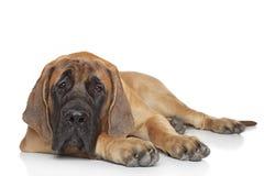 Englischer Mastiffwelpe (5 Monat) Stockfoto