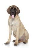 Englischer Mastiffwelpe auf weißem Hintergrund Stockfotos
