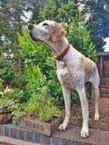 Englischer Nadelanzeigehund Stockfoto