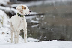 Englischer Setzer, Hund, Winter, Fluss Stockbild