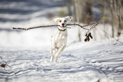 Englischer Setzer, Hund, Winter, laufend Stockfotografie