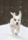 Englischer Setzer, Hund, Winter, laufend Lizenzfreie Stockfotografie