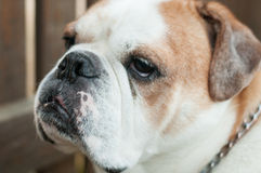 Englischer Stierhundmugshot lizenzfreies stockfoto