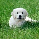 Englischer weißer Apportierhund Lizenzfreie Stockbilder