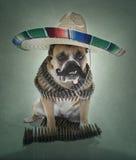 Englisches Bulldogge Bandito Portrait großer Sombrero Stockfotografie