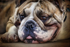 Englisches Bulldogge-Portrait, das sich hinlegt Stockbilder