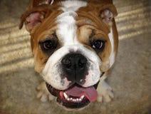 Englisches Bulldogge-Portrait von oben Stockbild