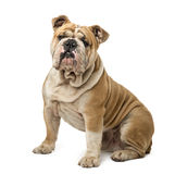 Englisches Bulldoggen-Sitzen stockfoto