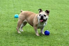 Englisches Bulldoggenspielen Lizenzfreie Stockfotos