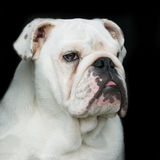 Englisches Bulldoggeportrait Stockfotografie