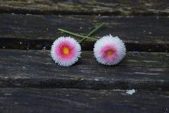 Englisches Gänseblümchen lizenzfreies stockfoto