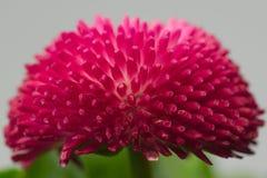 Englisches Gänseblümchen stockbilder