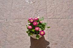 Englisches Gänseblümchen stockfotos