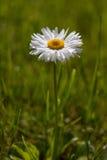 Englisches Gänseblümchen (Bellis perennis) Stockfotos