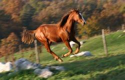 Englisches laufendes Pferd Stockbild