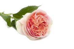 Englisches rosafarbenes Rosa schöne Blume Persico Lizenzfreies Stockfoto