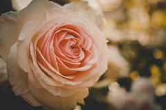 Englisches Rose Close Up-Sahnemakro stockfotografie