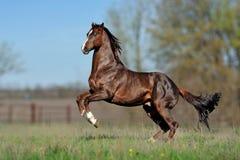 Englisches vollblütiges Pferd, das mit einem schönen Hintergrund springt Stockbild
