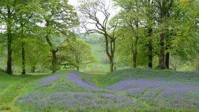 Englisches Waldland im Frühjahr Stockfoto
