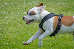 Englischstaffordshire-Bullterrierwelpe Lizenzfreie Stockfotos