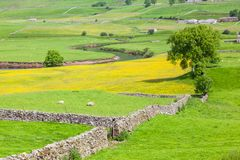 Yorkshire Dales Agricultural Landscape. English agricultural landscape in the Yorkshire Dales with a river, sheep, traditional stone walls and a rape crop Royalty Free Stock Images